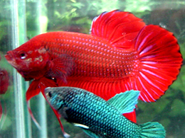 Giant Plakat Betta