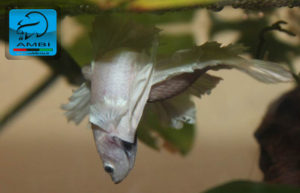 betta splendens accoppiamento