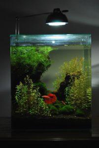 l'acquario per il betta - bettaportal - Allestimento Acquario Per Betta Splendens